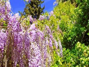 Arbusto con flores color lila