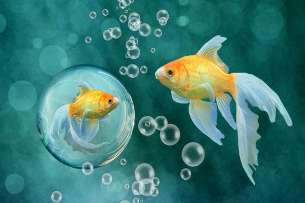 Peces color oro junto a las burbujas