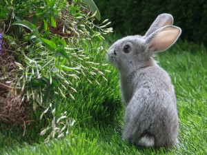 Conejo gris en la hierba