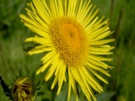 Flor amarilla con muchos pétalos