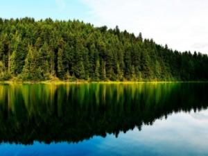 Postal: Pinos en la orilla del lago