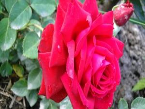 Postal: Rosa en el rosal