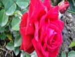 Rosa en el rosal