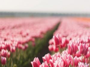 Postal: Campo de tulipanes rosas