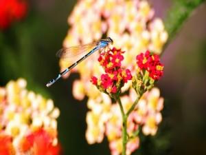 Postal: Libélula azul en las flores rojas