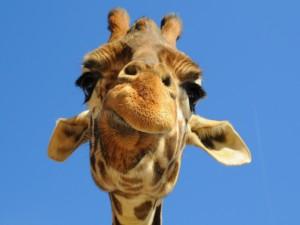 Postal: Cara a cara con la jirafa