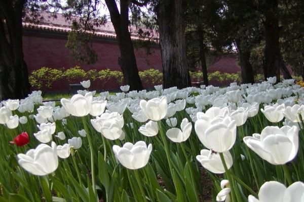 Tulipanes blancos en un jardín