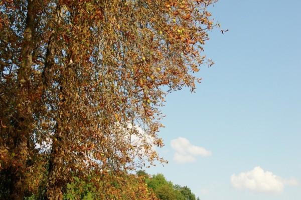 Hojas secas en el árbol