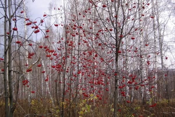 Árboles con bayas rojas