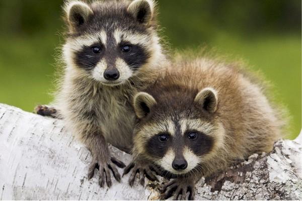 Pequeños mapaches