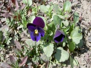 Flores azuladas en la tierra