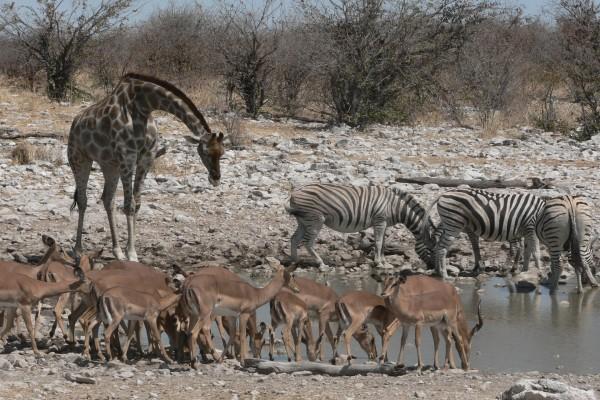Jirafa en compañía de cebras y gacelas