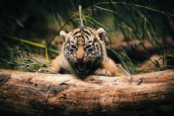 Cachorro de tigre gruñendo