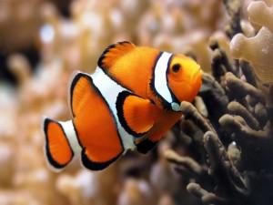 Postal: Bonito pez payaso