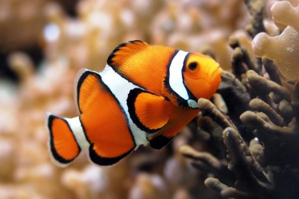 Bonito pez payaso