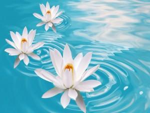 Lirios blancos en el agua