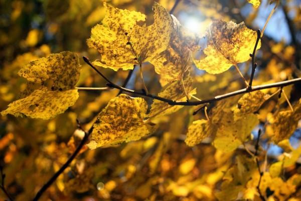 Hojas otoñales en la rama