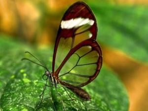 Mariposa de alas transparentes