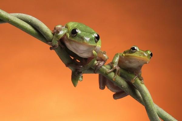 Dos ranas en el tronco