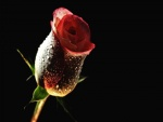 Rosa con pequeñas gotas de agua
