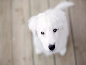 Postal: Perrito blanco mirándote
