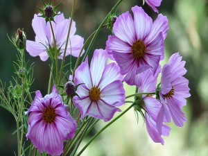 Una rama con pimpollos y flores lilas