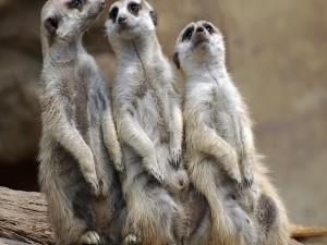 Tres suricatas
