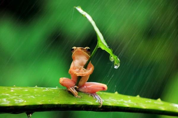 Una rana usando una hoja de paraguas
