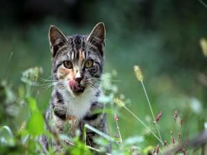 Gato que se relame