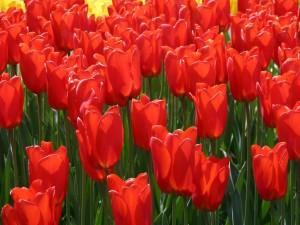 Postal: Tulipanes rojos en el campo