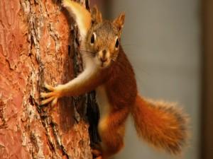 Postal: Ardilla sujeta al tronco del árbol