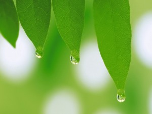 Postal: Gotas de agua en la punta de las hojas