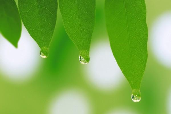 Gotas de agua en la punta de las hojas