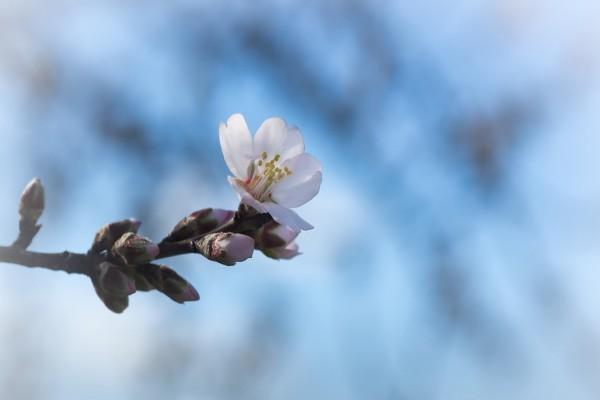 Atractiva flor de cerezo