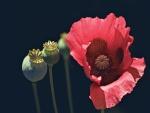Hermosa y bonita amapola roja