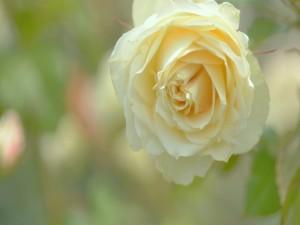 Exquisita rosa amarilla