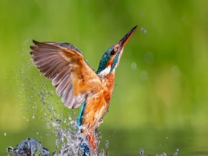 Martín pescador aleteando sobre el agua