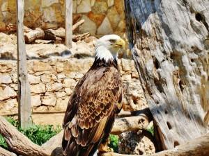 Postal: Bonito plumaje del águila