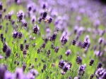 Flores silvestres moradas