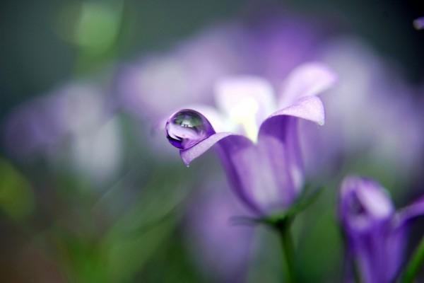 Gota de agua en el pétalo de la flor