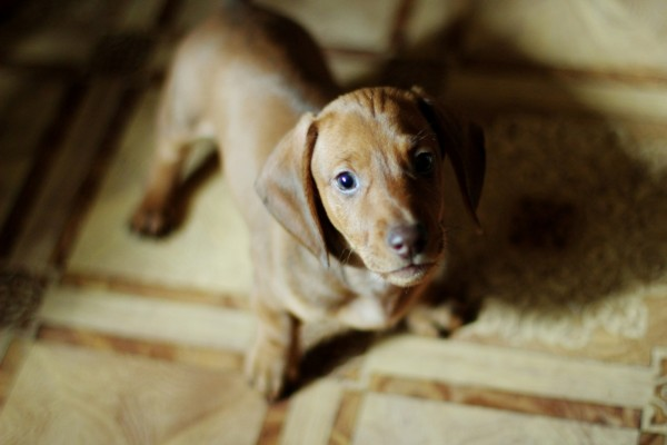 Bonito cachorro marrón