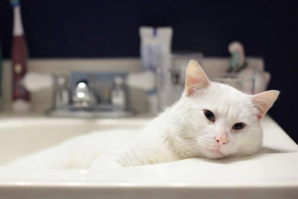 Precioso gato blanco en el lavabo