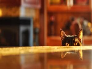 Los ojos y orejas del gato