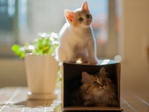 Gatitos jugando con la caja