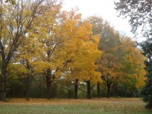 Postal: Hilera de árboles con hojas amarillas