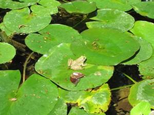 Rana sobre grandes hojas