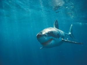 Un gran tiburón