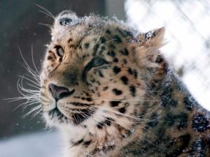 Postal: Un leopardo de las nieves
