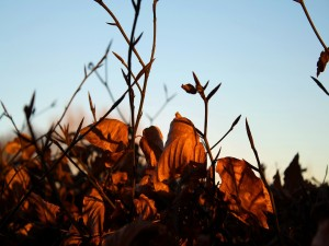 Planta con las hojas secas