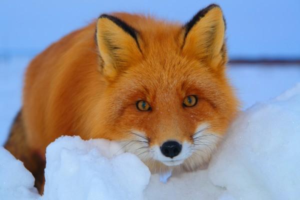 La mirada del zorro rojo